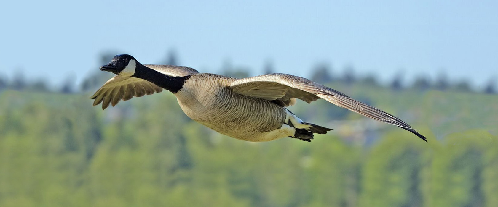 Majestic Canadian geese