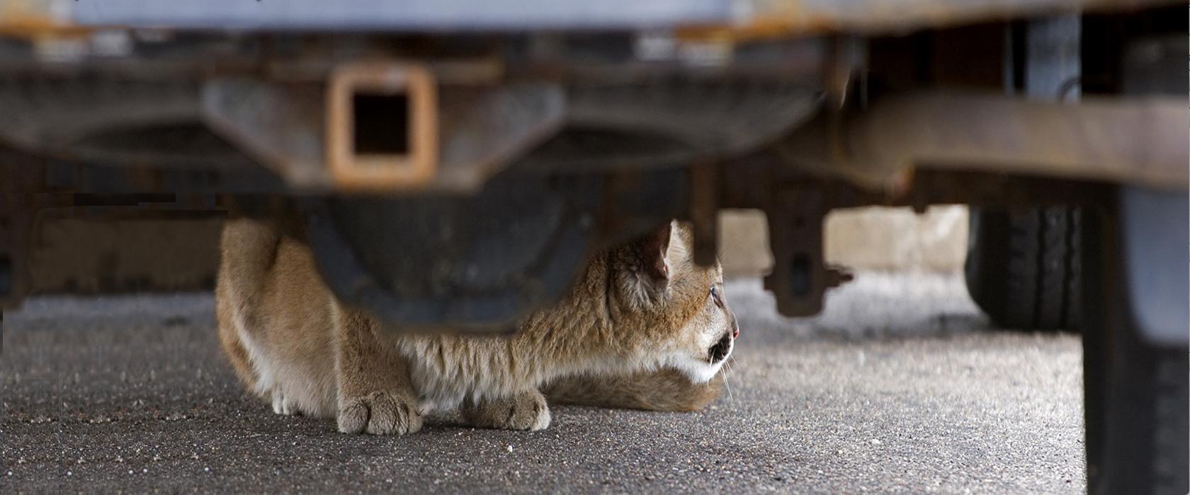 Mt Lion under car
