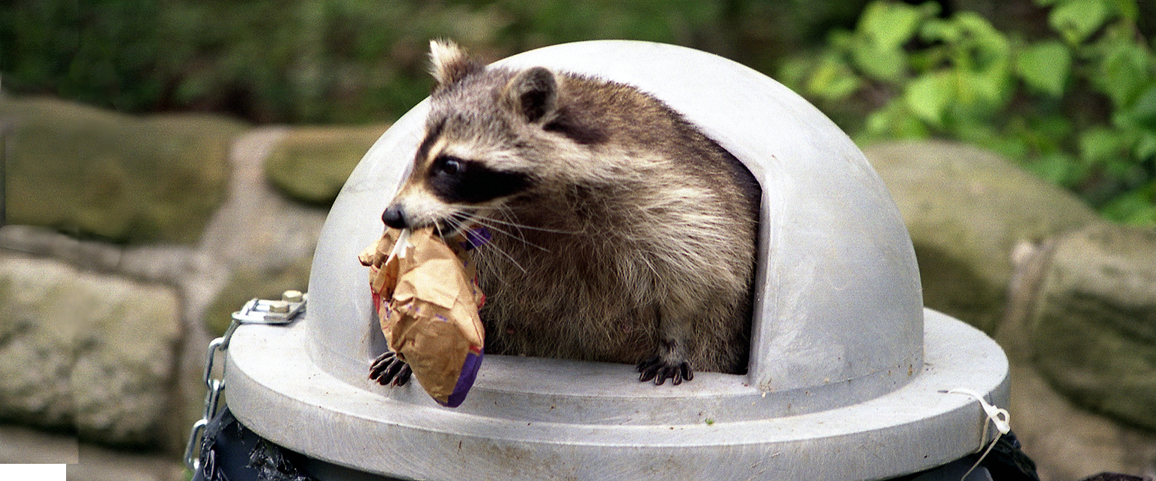 Raccoon in trash bin