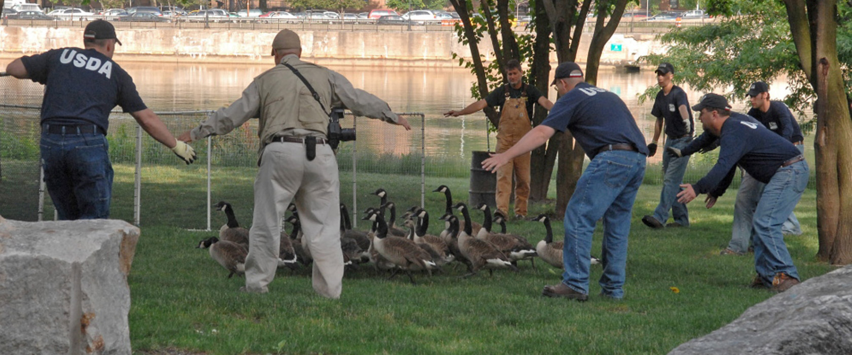 gassing geese