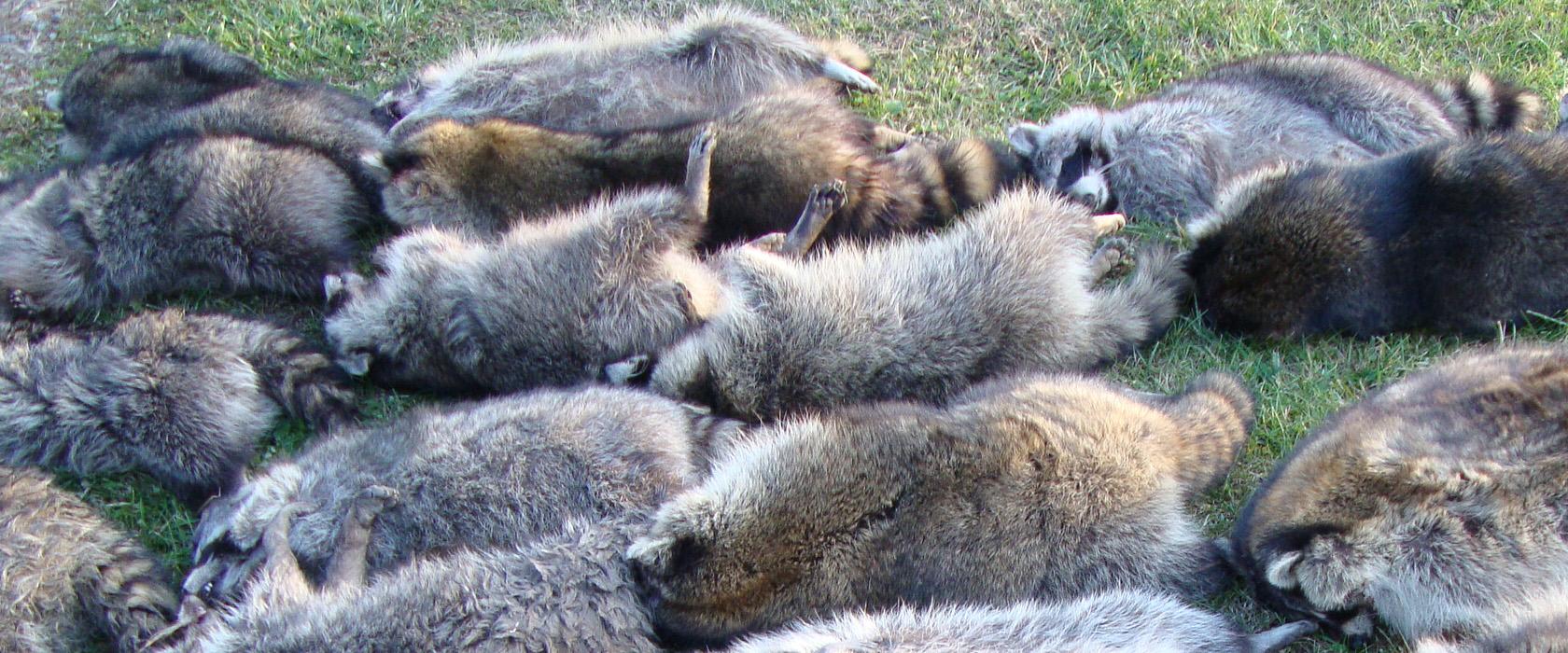 Dead Raccoons