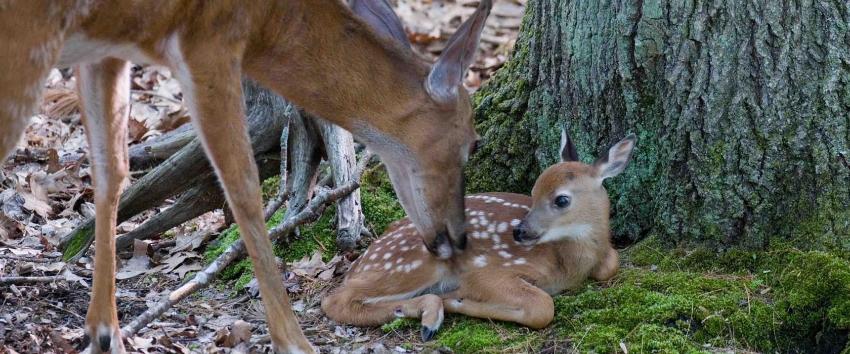 5 Doe and fawn