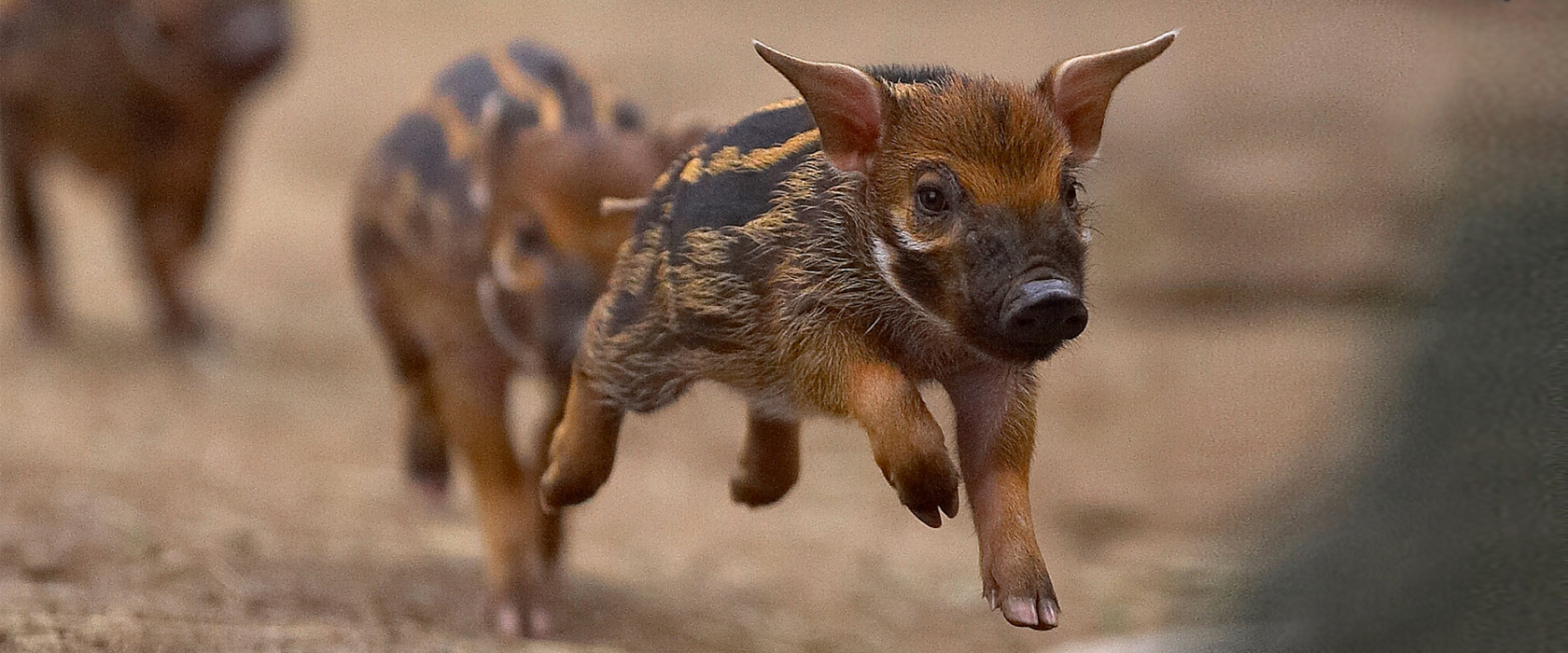 Flying Piglets