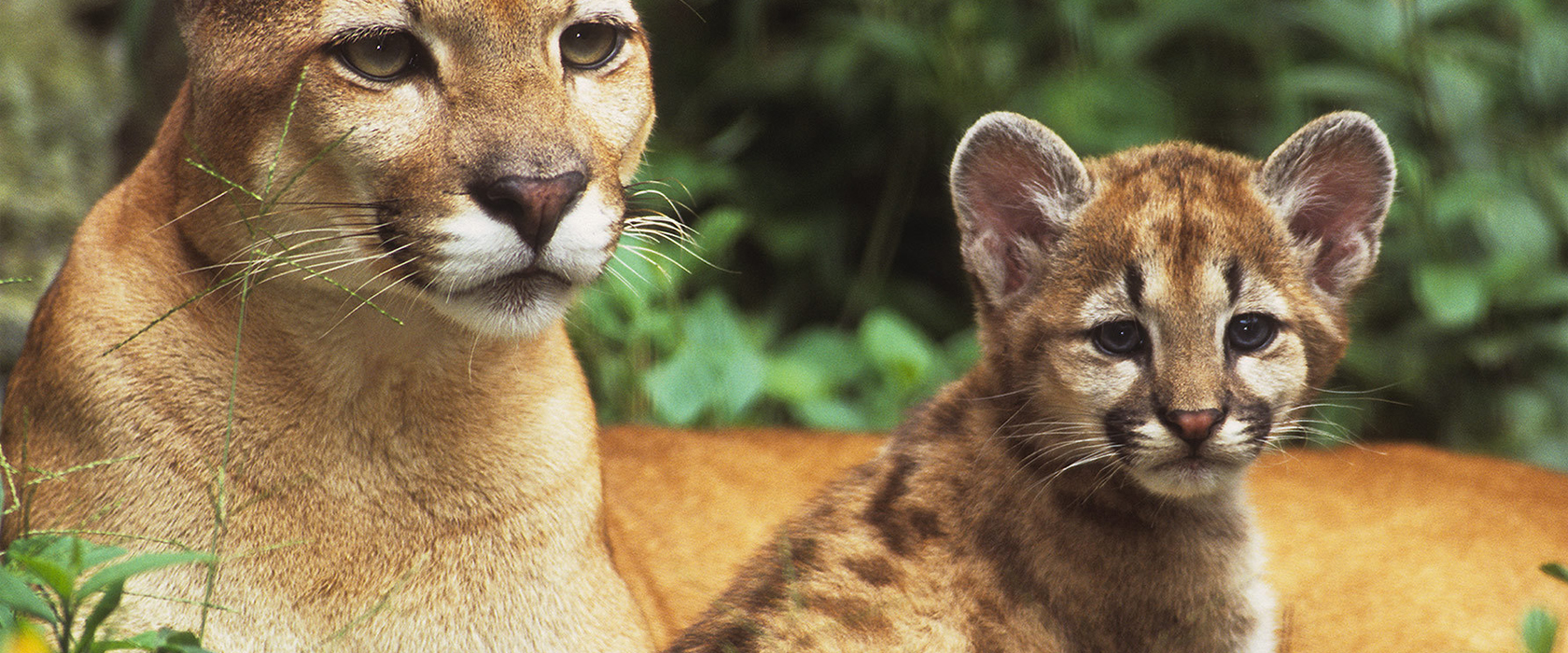 Mountain lion and cub