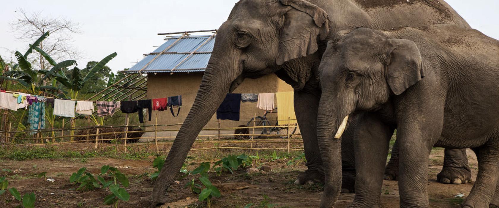 elephants-raiding-field
