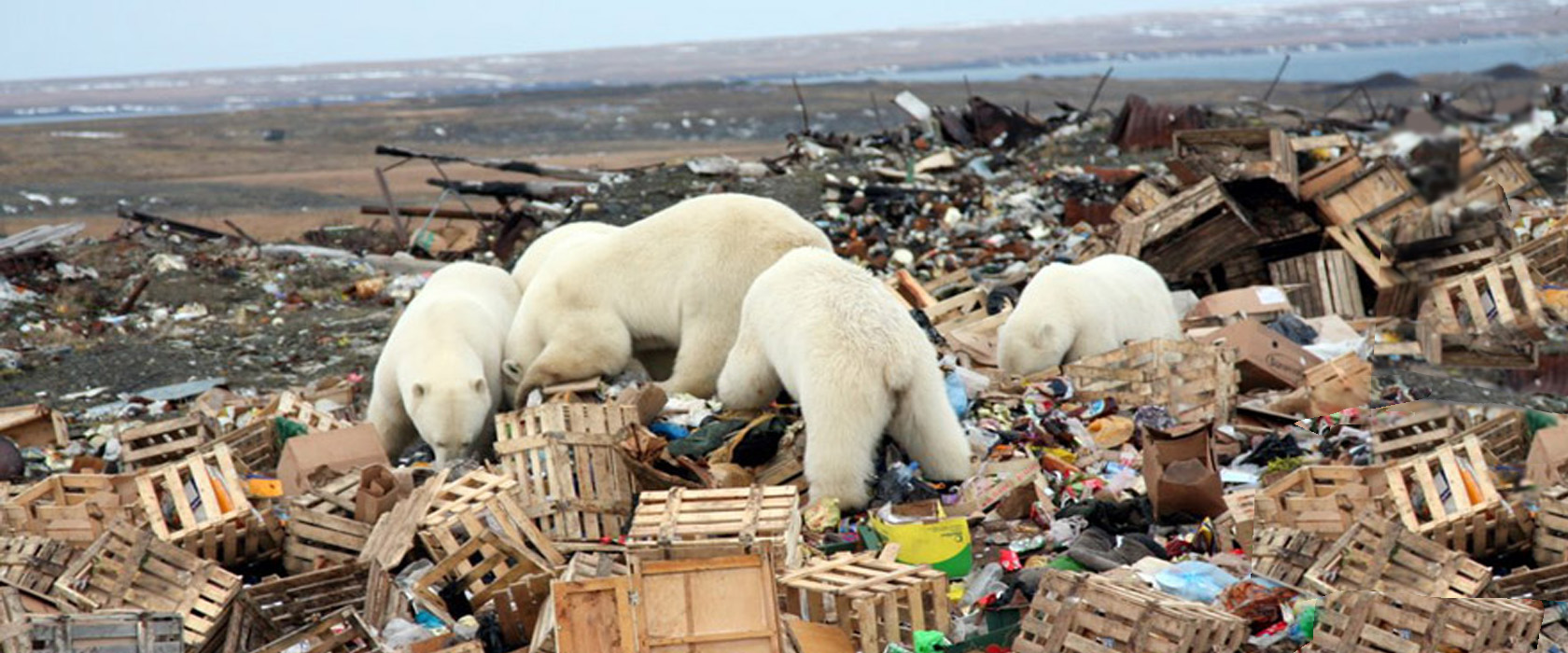 Polar Bears in Garbage